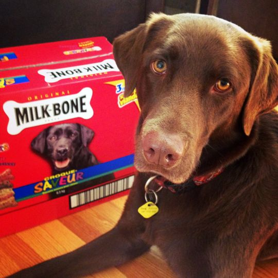 A chocolate labrador and a box of cookies