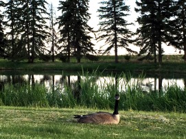 Lots of water means plenty of feathered friends along the fairways at J.R. Golf Course.